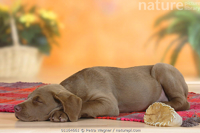 Domestic dog, Chesapeake Bay Retriever puppy, 9 weeks, sleeping, BABIES,BABY,CUTE,DOGS,gundogs,JUVENILE,lying down,pedigree,PETS,puppies,puppy,sporting,Studio,VERTEBRATES,Canids, Petra Wegner