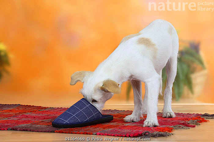 Domestic dog, Kromfohrlander, 5 month, sniffing inside slipper, BABIES,BABY,CUTE,DOGS,JUVENILE,pedigree,PETS,puppies,puppy,Studio,terriers,VERTEBRATES,Canids, Petra Wegner