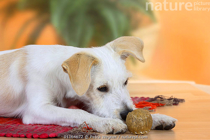 Domestic dog, Kromfohrlander, 5 months, with chewing toy, BABIES,BABY,CUTE,DOGS,JUVENILE,lying down,pedigree,PETS,puppies,puppy,Studio,terriers,VERTEBRATES,Canids, Petra Wegner
