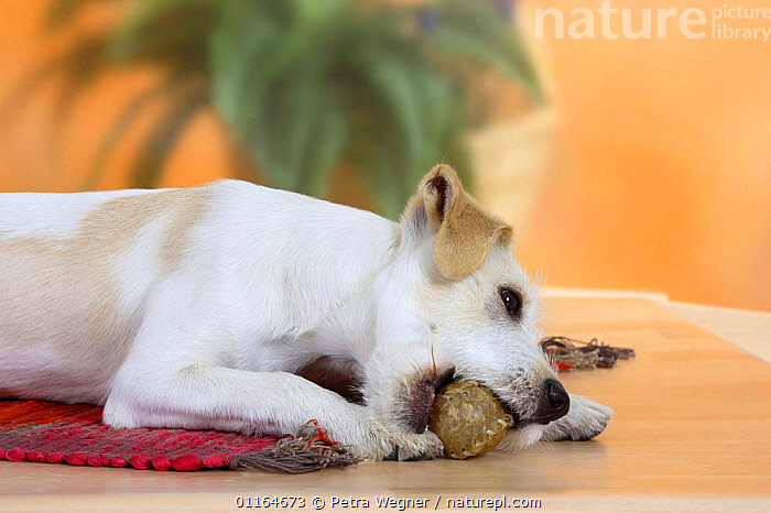 Domestic dog, Kromfohrlander, 5 month, with chewing toy, BABIES,BABY,biting,CUTE,DOGS,JUVENILE,lying down,pedigree,PETS,puppies,puppy,Studio,terriers,VERTEBRATES,Canids, Petra Wegner