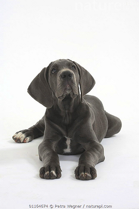 Domestic dog, Great Dane, puppy, 10 weeks  ,  BABIES,BABY,CUTE,CUTOUT,DOGS,JUVENILE,lying down,pedigree,PETS,puppies,puppy,Studio,utility,VERTEBRATES,VERTICAL,WORKING,Canids  ,  Petra Wegner