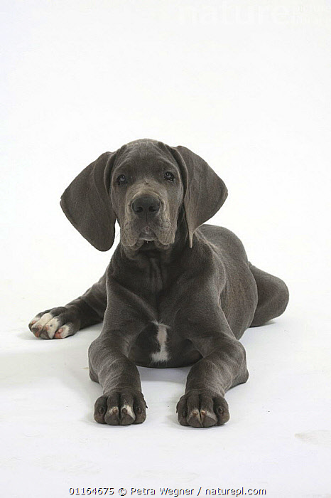 Domestic dog, Great Dane, puppy, 10 weeks, BABIES,BABY,CUTE,CUTOUT,DOGS,JUVENILE,lying down,pedigree,PETS,puppies,puppy,Studio,utility,VERTEBRATES,VERTICAL,WORKING,Canids, Petra Wegner