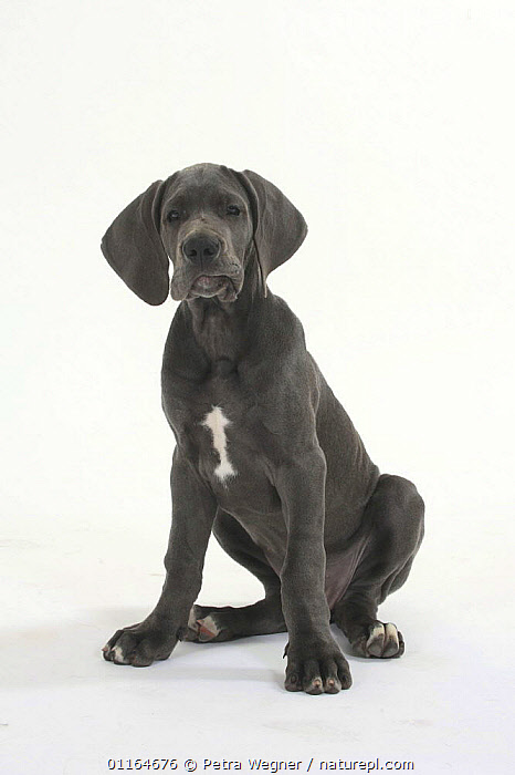 Domestic dog, Great Dane, puppy, 10 weeks, BABIES,BABY,CUTE,CUTOUT,DOGS,JUVENILE,pedigree,PETS,puppies,puppy,SITTING,Studio,utility,VERTEBRATES,VERTICAL,WORKING,Canids, Petra Wegner