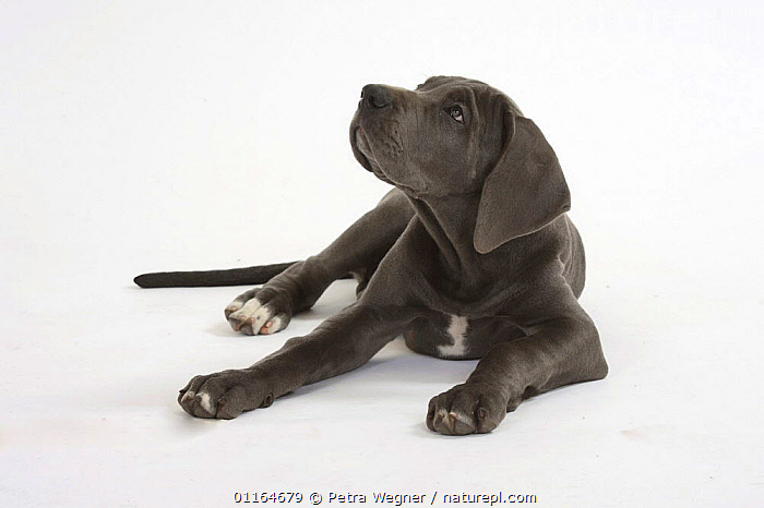 Great Dane puppy, 10 weeks, BABIES,BABY,CUTE,CUTOUT,DOGS,JUVENILE,lying down,pedigree,PETS,puppies,puppy,Studio,utility,VERTEBRATES,WORKING,Canids, Petra Wegner