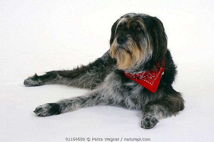 Domestic dog, Mixed Breed Dog with neckerchief, collar,CUTOUT,DOGS,half breed,lying down,mongrel,mutt,PETS,scarf,Studio,VERTEBRATES,Canids, Petra Wegner