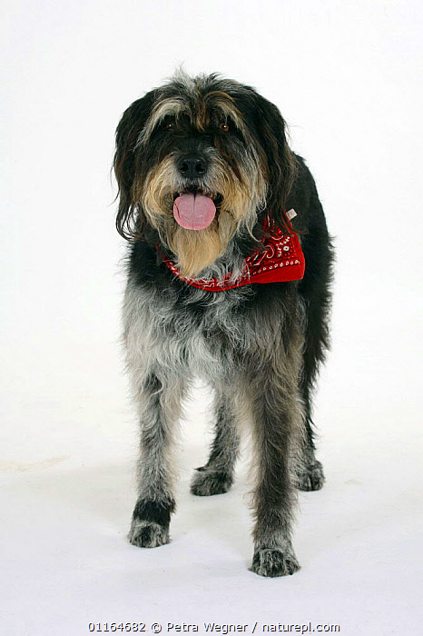 Domestic dog, Mixed Breed Dog with neckerchief  ,  collar,CUTOUT,DOGS,half breed,mongrel,mutt,panting,PETS,scarf,STANDING,Studio,VERTEBRATES,VERTICAL,Canids  ,  Petra Wegner