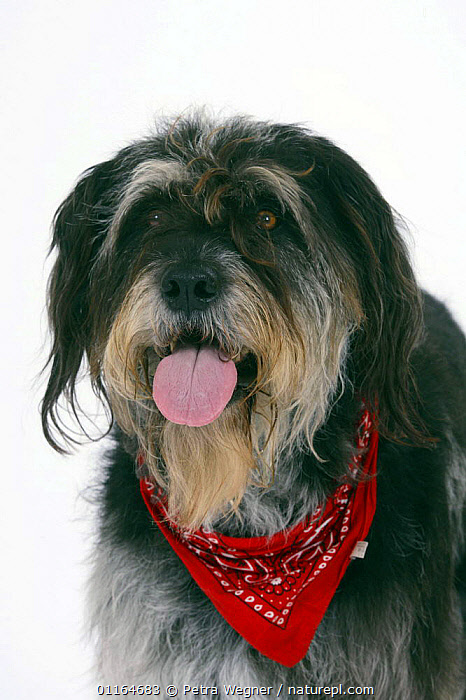 Domestic dog, Mixed Breed Dog with neckerchief, collar,CUTOUT,DOGS,FACES,half breed,mongrel,mutt,panting,PETS,scarf,Studio,TONGUES,VERTEBRATES,VERTICAL,Canids, Petra Wegner