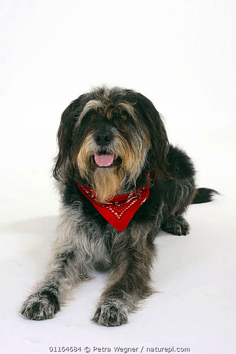 Domestic dog, Mixed Breed Dog with neckerchief  ,  collar,CUTOUT,DOGS,half breed,lying down,mongrel,mutt,panting,PETS,scarf,Studio,VERTEBRATES,VERTICAL,Canids  ,  Petra Wegner
