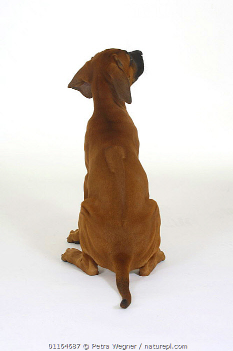 Domestic dog, Rhodesian Ridgeback puppy, 10 weeks from behind, note ridge on back  ,  BABIES,BABY,back,CUTE,CUTOUT,DOGS,hounds,JUVENILE,pedigree,PETS,puppies,puppy,SITTING,Studio,VERTEBRATES,VERTICAL,Canids  ,  Petra Wegner
