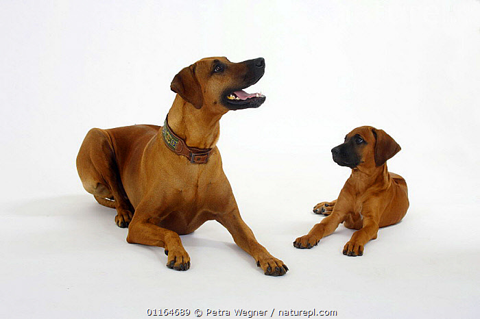 Domestic dog, Rhodesian Ridgeback with puppy, 10 weeks, BABIES,BABY,CUTE,CUTOUT,DOGS,FAMILIES,hounds,JUVENILE,lying down,pedigree,PETS,puppies,puppy,Studio,VERTEBRATES,Canids, Petra Wegner