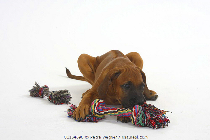 Domestic dog, Rhodesian Ridgeback puppy, 10 weeks, sniffing toy, BABIES,BABY,CUTE,CUTOUT,DOGS,hounds,JUVENILE,lying down,pedigree,PETS,playing,puppies,puppy,Studio,toys,VERTEBRATES,Canids, Petra Wegner