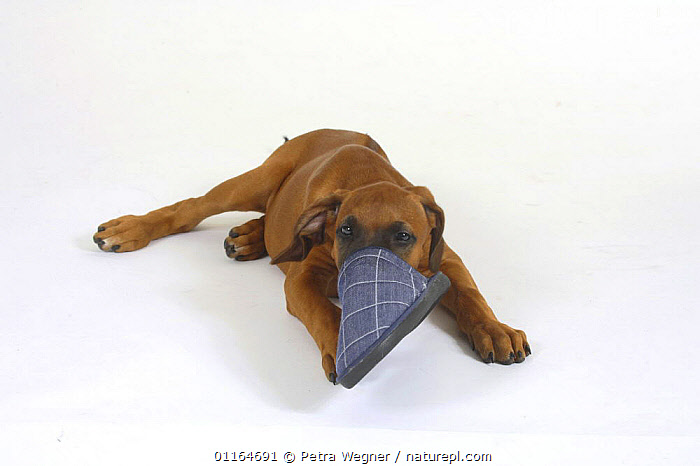 Domestic dog, Rhodesian Ridgeback puppy, 10 weeks, with its nose in a slipper  ,  BABIES,BABY,CUTE,CUTOUT,DOGS,FACES,funny,hounds,JUVENILE,lying down,pedigree,PETS,playing,puppies,puppy,Studio,VERTEBRATES,Canids  ,  Petra Wegner