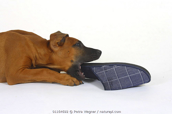 Domestic dog, Rhodesian Ridgeback puppy, 10 weeks, gnawing on slipper, BABIES,BABY,biting,chewing,CUTE,CUTOUT,DOGS,hounds,JUVENILE,lying down,MOUTHS,pedigree,PETS,playing,puppies,puppy,Studio,VERTEBRATES,Canids, Petra Wegner