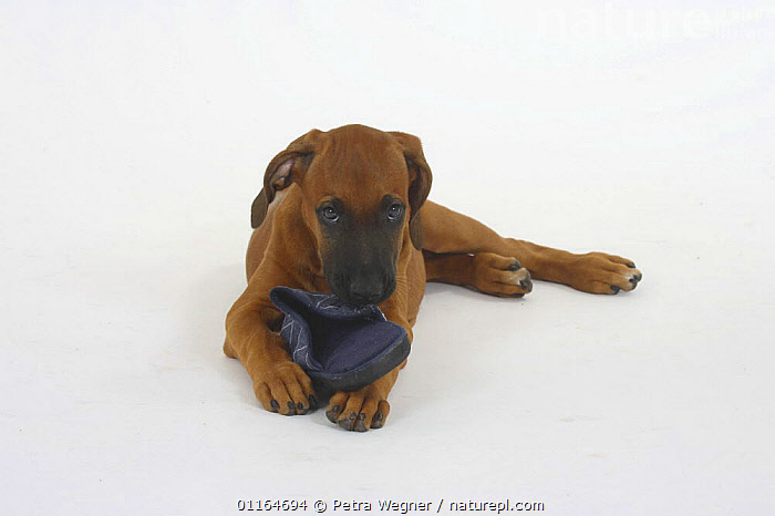 Domestic dog, Rhodesian Ridgeback puppy, 10 weeks, gnawing on slipper  ,  BABIES,BABY,biting,chewing,CUTE,CUTOUT,DOGS,EYES,hounds,JUVENILE,lying down,pedigree,PETS,playing,puppies,puppy,sorry,Studio,VERTEBRATES,Canids  ,  Petra Wegner