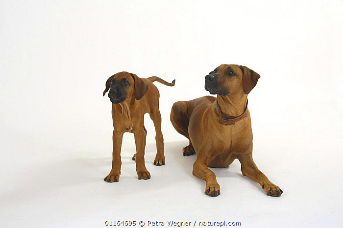 Domestic dog, Rhodesian Ridgeback with puppy, 10 weeks  ,  BABIES,BABY,CUTE,CUTOUT,DOGS,FAMILIES,hounds,JUVENILE,lying down,pedigree,PETS,puppies,puppy,Studio,VERTEBRATES,Canids  ,  Petra Wegner