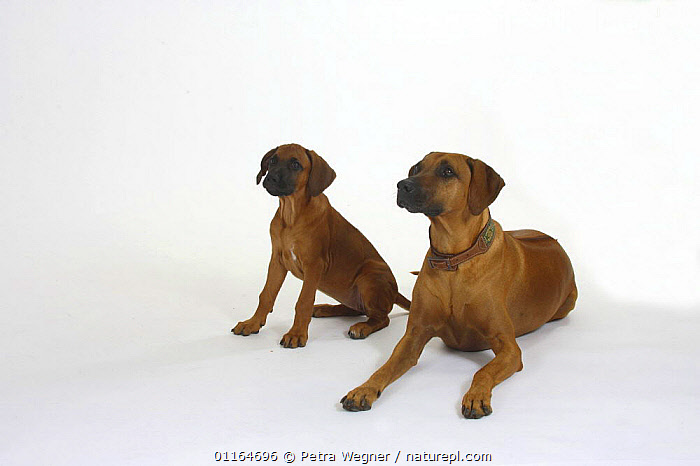 Domestic dog, Rhodesian Ridgeback with puppy, 10 weeks, BABIES,BABY,CUTE,CUTOUT,DOGS,FAMILIES,hounds,JUVENILE,lying down,pedigree,PETS,puppies,puppy,SITTING,Studio,VERTEBRATES,Canids, Petra Wegner