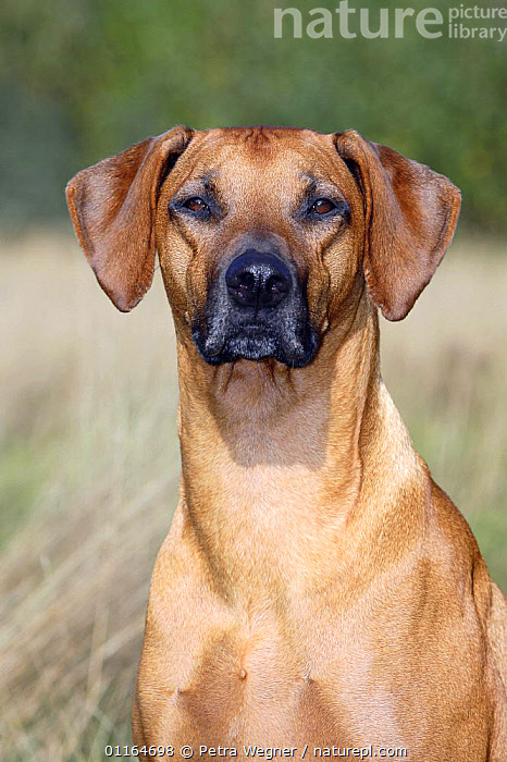Domestic dog, Rhodesian Ridgeback portrait  ,  DOGS,FACES,hounds,outdoors,pedigree,PETS,SITTING,VERTEBRATES,VERTICAL,Canids  ,  Petra Wegner