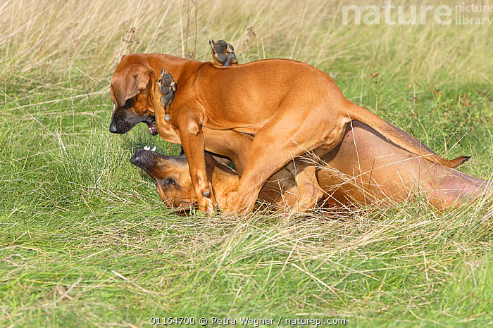 Domestic dog, Rhodesian Ridgeback playing with puppy, 14 weeks, AFFECTIONATE,BABIES,BABY,CUTE,DOGS,FAMILIES,hounds,JUVENILE,outdoors,pedigree,PETS,puppies,puppy,VERTEBRATES,concepts,Canids, Petra Wegner