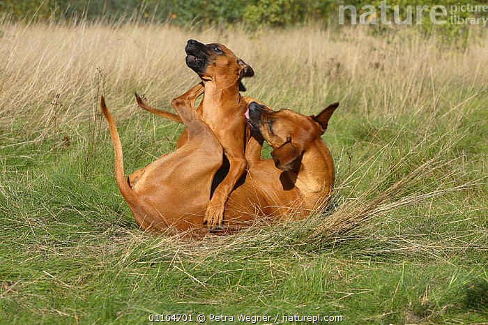 Domestic dog, Rhodesian Ridgeback playing with puppy, 14 weeks  ,  AFFECTIONATE,BABIES,BABY,CUTE,DOGS,FAMILIES,hounds,JUVENILE,pedigree,PETS,puppies,puppy,VERTEBRATES,concepts,Canids  ,  Petra Wegner