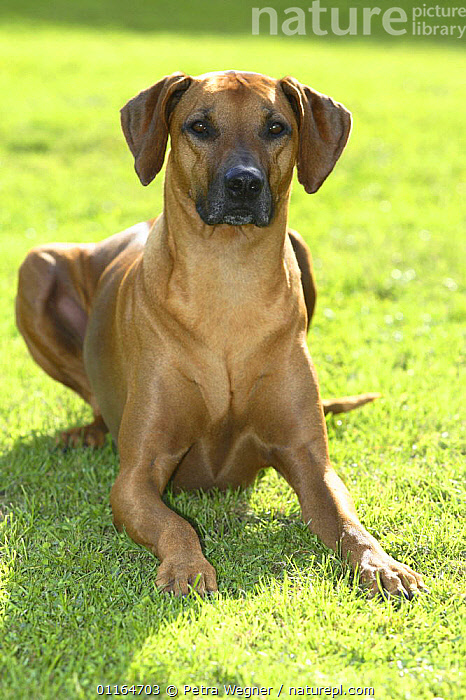 Domestic dog, Rhodesian Ridgeback portrait  ,  DOGS,hounds,lying down,outdoors,pedigree,PETS,VERTEBRATES,VERTICAL,Canids  ,  Petra Wegner