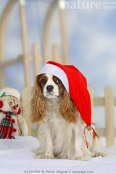 Domestic dog, Cavalier King Charles Spaniel (Blenheim) with Christmas hat  ,  CUTE,DOGS,festive,funny,pedigree,PETS,SITTING,Studio,toy dogs,VERTEBRATES,VERTICAL,Canids  ,  Petra Wegner
