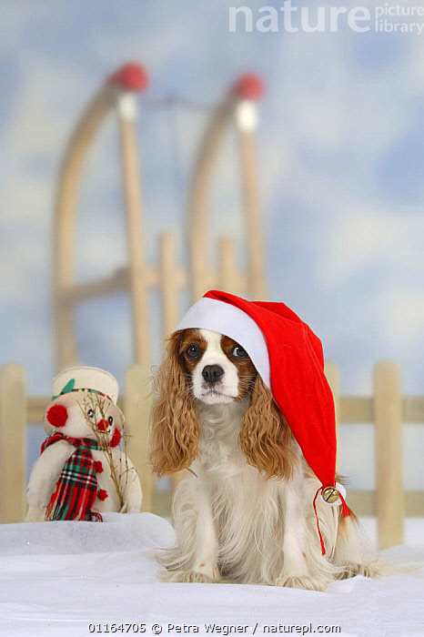 Domestic dog, Cavalier King Charles Spaniel (Blenheim) with Christmas hat, CUTE,DOGS,festive,funny,pedigree,PETS,SITTING,Snowman,Studio,toy dogs,VERTEBRATES,VERTICAL,Canids, Petra Wegner