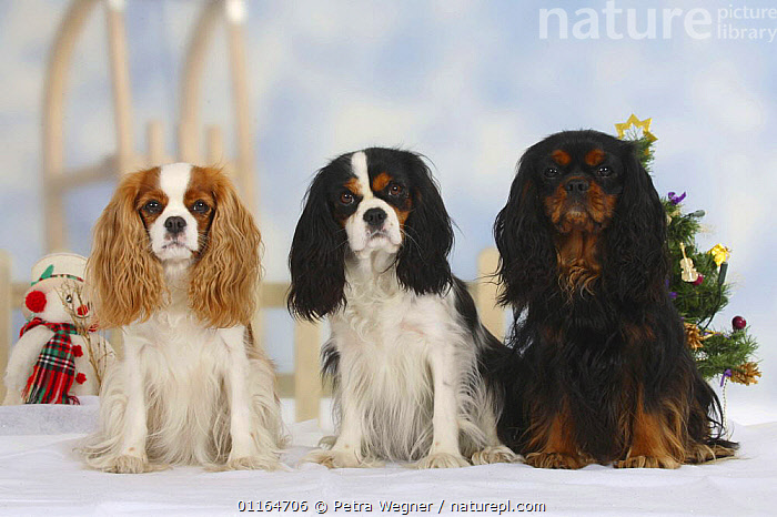 Domestic dog, three Cavalier King Charles Spaniels (Blenheim, tricolor and black and tan) in Christmas setting  ,  Color,colour,CUTE,DOGS,festive,FRIENDS,pedigree,PETS,SITTING,Studio,toy dogs,VERTEBRATES,Canids  ,  Petra Wegner