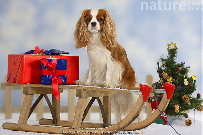 Domestic dog, Cavalier King Charles Spaniel (Blenheim) sitting one sledge with presents.  ,  christmas tree,CUTE,DOGS,festive,gifts,pedigree,PETS,SITTING,Studio,toy dogs,VERTEBRATES,Canids  ,  Petra Wegner