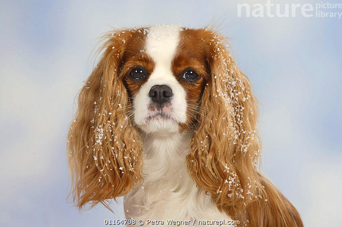 Domestic dog, Cavalier King Charles Spaniel (Blenheim) with snow on its ears  ,  Christmas,CUTE,DOGS,FACES,festive,pedigree,PETS,SITTING,Studio,toy dogs,VERTEBRATES,Canids  ,  Petra Wegner