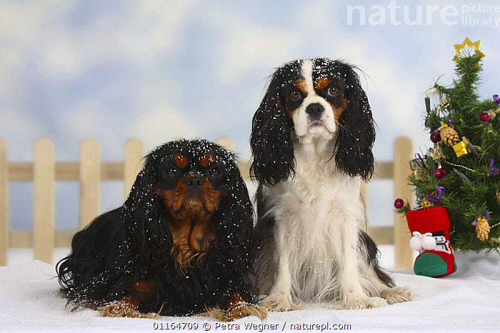Domestic dog, two Cavalier King Charles Spaniels, (tricolor and black and tan) in Christmas setting  ,  christmas tree,colour,CUTE,DOGS,festive,FRIENDS,lying down,pedigree,PETS,SITTING,SNOW,Studio,toy dogs,VERTEBRATES,Canids  ,  Petra Wegner