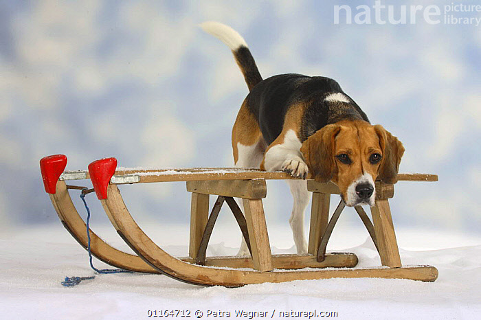 Domestic dog, Beagle on sledge  ,  Christmas,CUTE,DOGS,hounds,pedigree,PETS,SNOW,STANDING,Studio,VERTEBRATES,WINTER,Canids  ,  Petra Wegner