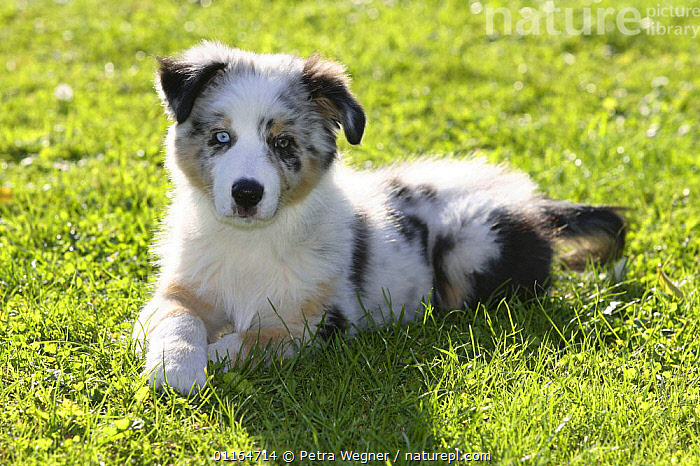 Domestic dog, Australian Shepherd / Sheepdog puppy, 11 weeks, BABIES,BABY,CUTE,DOGS,JUVENILE,lying down,outdoors,pastoral,pedigree,PETS,puppies,puppy,VERTEBRATES,Canids, Petra Wegner