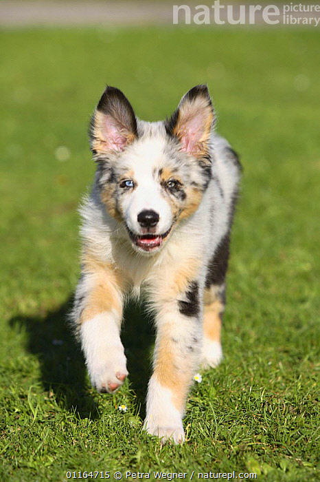 Domestic dog, Australian Shepherd / Sheepdog puppy, 11 weeks  ,  BABIES,BABY,CUTE,DOGS,JUVENILE,outdoors,pastoral,pedigree,PETS,puppies,puppy,smiling,VERTEBRATES,VERTICAL,walking,Canids  ,  Petra Wegner