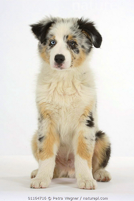 Domestic dog, Australian Shepherd / Sheepdog puppy, 11 weeks  ,  BABIES,BABY,CUTE,CUTOUT,DOGS,JUVENILE,pastoral,pedigree,PETS,puppies,puppy,SITTING,Studio,VERTEBRATES,VERTICAL,Canids  ,  Petra Wegner