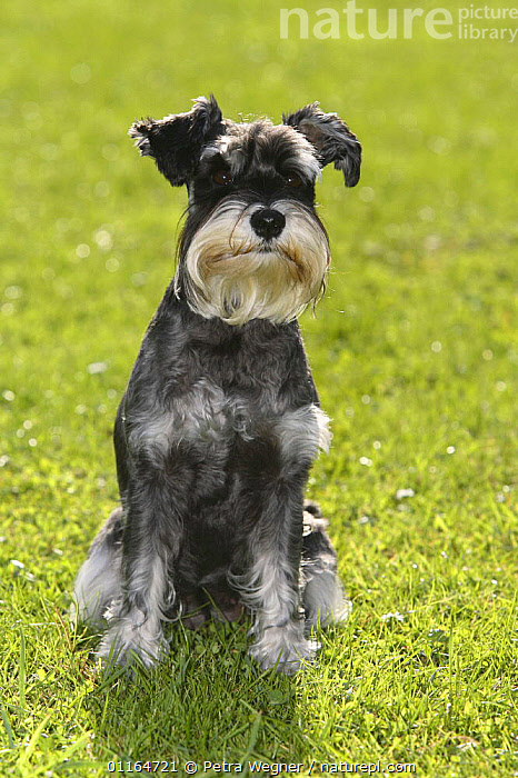 Domestic dog, Miniature Schnauzer (black-silver)  ,  DOGS,outdoors,pedigree,PETS,SITTING,utility,VERTEBRATES,VERTICAL,WORKING,Canids  ,  Petra Wegner