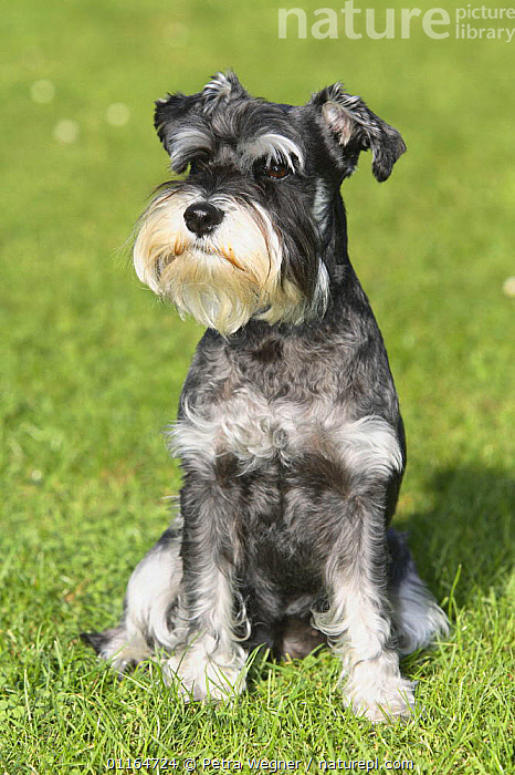 Domestic dog, Miniature Schnauzer (black-silver), DOGS,outdoors,pedigree,PETS,SITTING,utility,VERTEBRATES,VERTICAL,WORKING,Canids, Petra Wegner