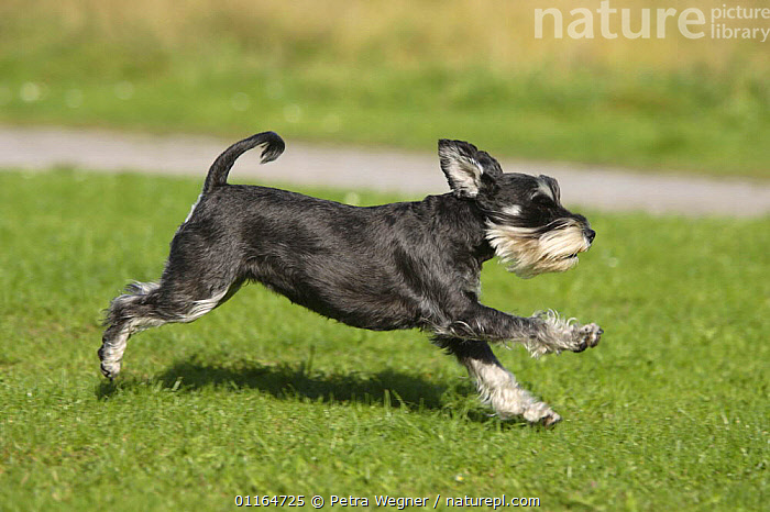 Domestic dog, Miniature Schnauzer (black-silver) running, ACTION,DOGS,outdoors,pedigree,PETS,utility,VERTEBRATES,WORKING,Canids, Petra Wegner