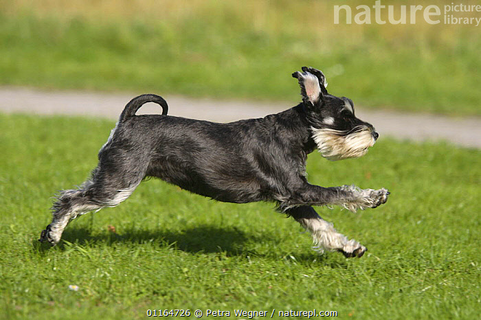 Domestic dog, Miniature Schnauzer (black-silver) running  ,  ACTION,DOGS,outdoors,pedigree,PETS,utility,VERTEBRATES,WORKING,Canids  ,  Petra Wegner