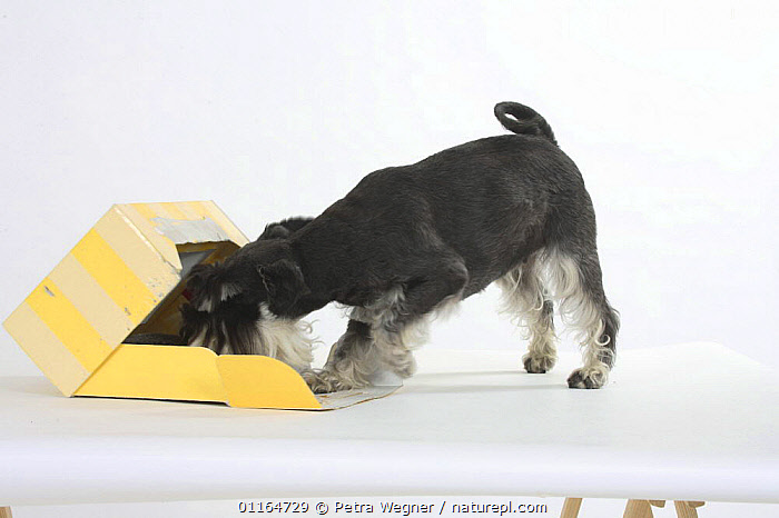 Domestic dog, Miniature Schnauzer (black-silver) sniffing the inside of a box  ,  Curious,CUTOUT,DOGS,pedigree,PETS,Studio,utility,VERTEBRATES,WORKING,Canids  ,  Petra Wegner