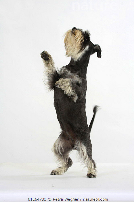 Domestic dog, Miniature Schnauzer (black-silver), standing on hind legs looking up  ,  CUTOUT,DOGS,pedigree,PETS,Studio,tricks,utility,VERTEBRATES,VERTICAL,WORKING,Canids  ,  Petra Wegner