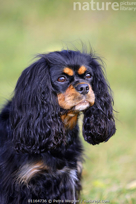 Domestic dog, Cavalier King Charles Spaniel (black and tan)  ,  CUTE,DOGS,FACES,outdoors,pedigree,PETS,toy dogs,VERTEBRATES,VERTICAL,Canids  ,  Petra Wegner