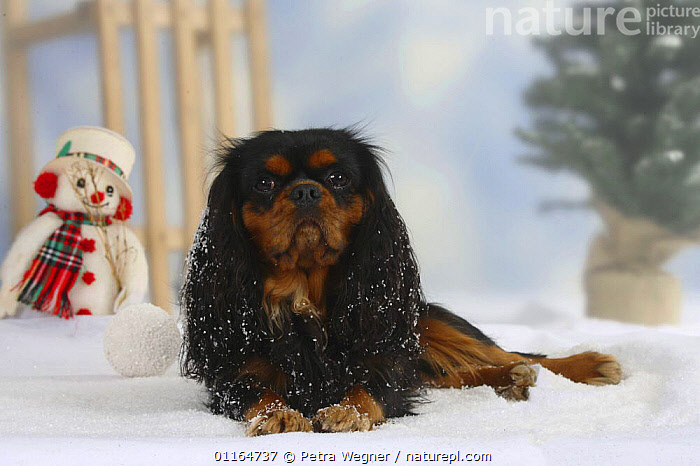 Domestic dog, Cavalier King Charles Spaniel (black and tan) in winter setting  ,  Christmas,CUTE,DOGS,lying down,pedigree,PETS,SNOW,Snowman,Studio,toy dogs,VERTEBRATES,Canids  ,  Petra Wegner