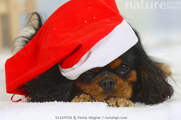 Domestic dog, Cavalier King Charles Spaniel (black and tan) wearing Christmas hat  ,  CUTE,DOGS,FACES,festive,funny,lying down,pedigree,PETS,SNOW,Studio,toy dogs,VERTEBRATES,WINTER,Canids  ,  Petra Wegner
