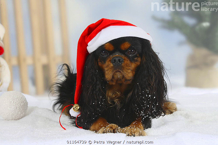 Domestic dog, Cavalier King Charles Spaniel (black and tan), wearing Christmas hat  ,  CUTE,DOGS,festive,lying down,pedigree,PETS,SNOW,Studio,toy dogs,VERTEBRATES,WINTER,Canids  ,  Petra Wegner