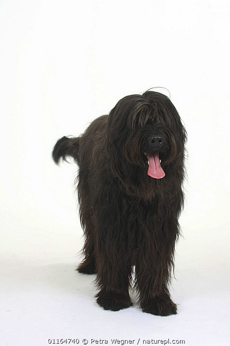 Domestic dog, black Briard portrait  ,  CUTOUT,DOGS,panting,pastoral,pedigree,PETS,STANDING,Studio,TONGUES,VERTEBRATES,VERTICAL,Canids  ,  Petra Wegner
