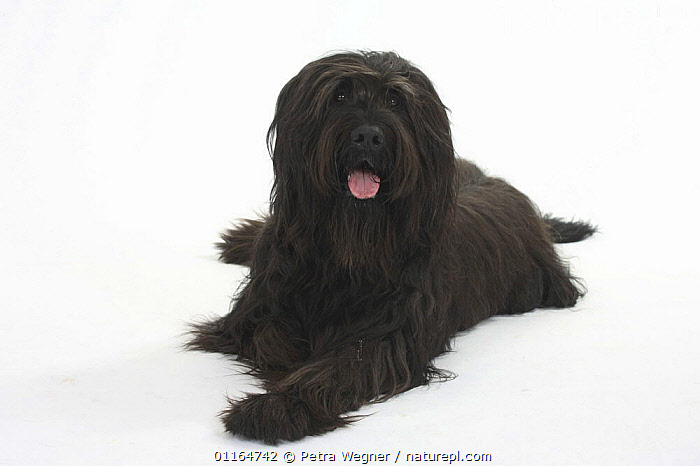 Domestic dog, black Briard, CUTOUT,DOGS,lying down,panting,pastoral,pedigree,PETS,Studio,TONGUES,VERTEBRATES,Canids, Petra Wegner