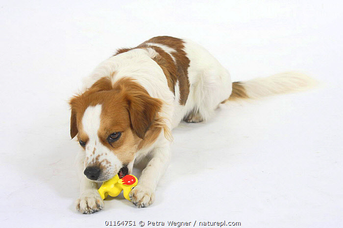Domestic dog, Kromfohrlander biting toy  ,  chewing,CUTOUT,DOGS,gnawing,pedigree,PETS,playing,Studio,terriers,VERTEBRATES,Canids  ,  Petra Wegner