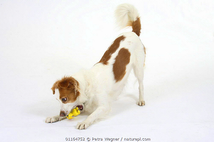 Domestic dog, Kromfohrlander with toy, playbowing  ,  BEHAVIOUR,biting,bowing,chewing,CUTOUT,DOGS,pedigree,PETS,playing,Studio,terriers,VERTEBRATES,Canids  ,  Petra Wegner