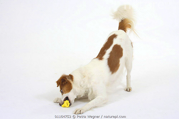 Domestic dog, Kromfohrlander biting toy, playbowing  ,  BEHAVIOUR,bowing,chewing,CUTOUT,DOGS,pedigree,PETS,playing,Studio,terriers,VERTEBRATES,Canids  ,  Petra Wegner