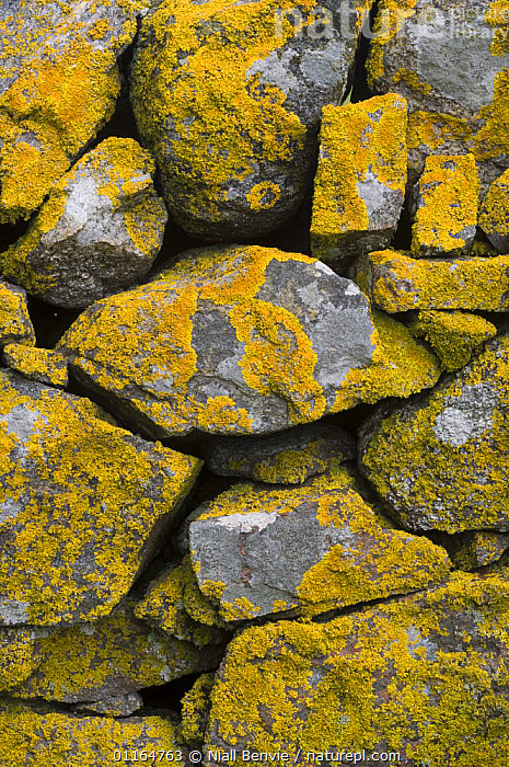 Yellow lichen (Caloplaca genus) covering drystone wall, Tiree, Scotland UK. May 2006  ,  ABSTRACT, arty shots, EUROPE, FUNGI, LICHENS, ROCKS, stones, TRADITIONAL, UK, VERTICAL, walls,Plants,United Kingdom , Inner Hebrides  ,  Niall Benvie